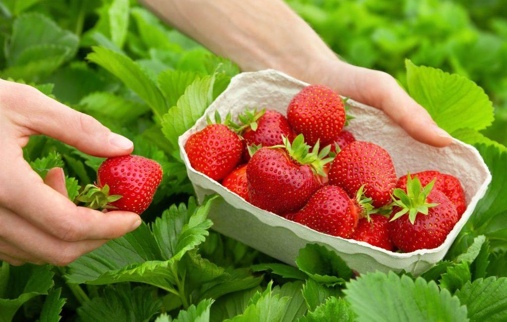 StrawberriesAdobe-copy-1024x657