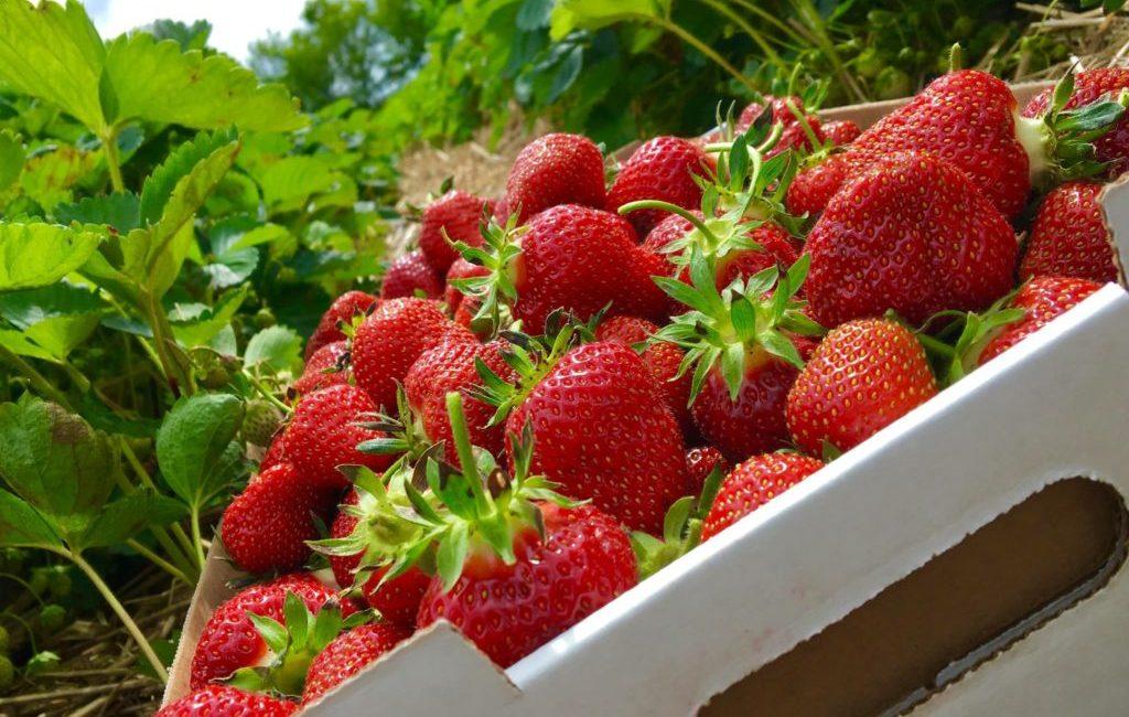 strawberries1-copy-1024x768
