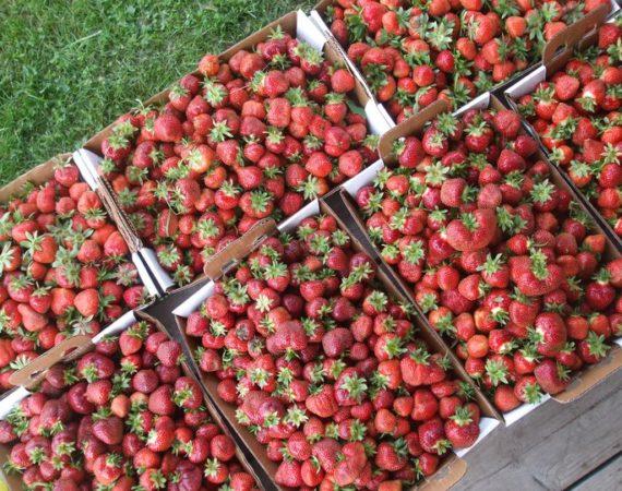 Upickstrawberries